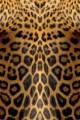 2 giaguaro uomo