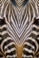 32 zebra uomo
