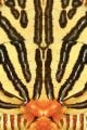 66 farfalla
